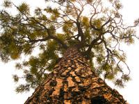 brazil tree