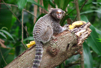 monkey / mico 3
