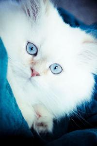 Beautiful Himalayan Kitten! 1