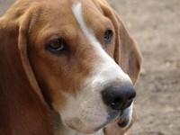Spot, the Beagle