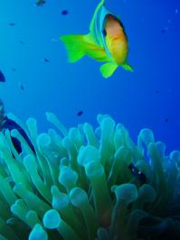 clownfish 2