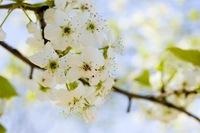Blossums 2