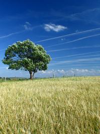 corn_tree_ 4