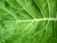 cabbage 2