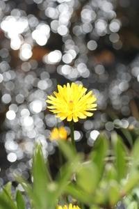Hieracium alpinum (Alpen-Habichtskraut) 1