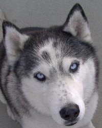 Siberian Huskies 5