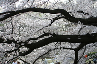 cherry tree branches and blossoms