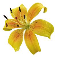 orance lily 1