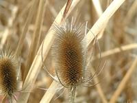 Autumn Seeds - Thistle
