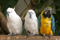 Macaw and Cockatoos