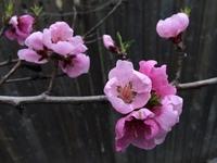 The Spring Peach Tree 3