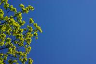 Oak leafs on blue sky