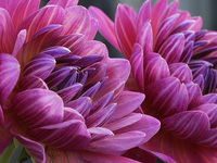 Deep Pink Dahlias