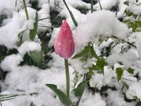 Snow Tulips 1