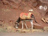 Berber and his donkeys