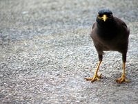 Staring Mynah Bird
