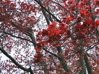Red beech