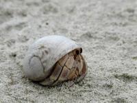 Crab in Maldives 1