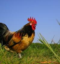 Bassette Chicken Cock