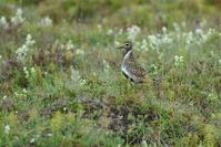 Bird in Iceland