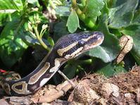 Royal Python 1