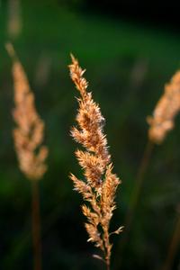 Grasses in Evening Light