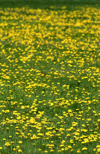 Dandelion Field 2
