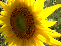 floarea soarelui 1