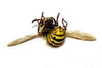 Wasp, ROFL