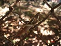 Grasshopper (gafanhoto)