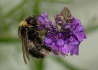 Rain Bumblebee