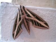American moth