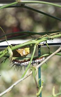 Caterpillar 6