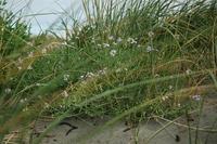 Dune Grass & Flowers