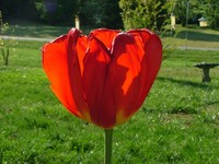 Red Tulip 3