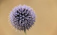 Violet thorn - flower