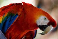 Araras Vermelhas - red Brazilian Macaws 3