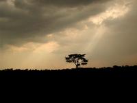 Light beam on African Eucalyptus Tree / Balboa