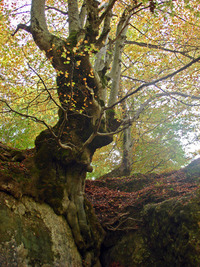 old Tree urederra
