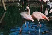 Pair of Chilean Flamingos