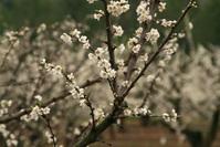 Almond Blossom 3