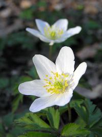 Anemone nemorosa in Flower