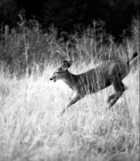 Leaping Fawn