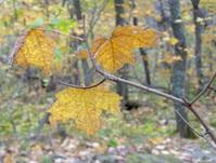 Fall Maple Leaf, Rockliffe Park