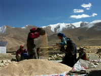 Harvest in Tibet