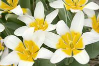 Flowerfields in Noordwijk