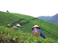 Tea recolectors