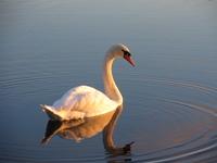 Swan - III