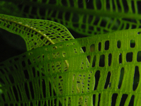 Madagascar Lace Plant