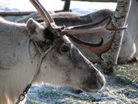 Elk in Finland